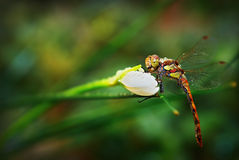 Dragonfly Odonata on Narcissus Royalty Free Stock Photo