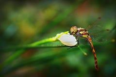 Dragonfly Odonata on Narcissus. Dragonfly Odonata is sitting on Narcissus Royalty Free Stock Photo