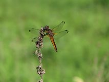 Dragonfly (Odonata). Dragonfly is sitting on the dry grass. Shallow depth of field Royalty Free Stock Image