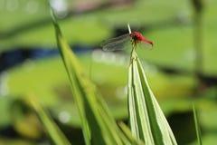 Dragonfly odpoczynki Zdjęcie Royalty Free