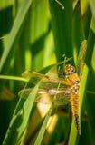 Dragonfly Odpoczywać Obrazy Stock