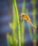 Dragonfly Odpoczywać Zdjęcia Stock