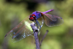 Dragonfly odpoczywa na gałązce Fotografia Stock