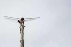 Dragonfly odpoczywa na kiju, frontowy widok z kopii przestrzenią Zdjęcie Stock