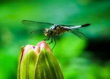 Dragonfly odpoczywa na różowym okulizowanie lotosie zdjęcie stock