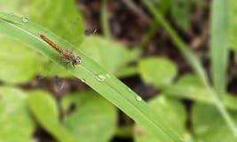 Dragonfly odpoczywa na zielonej trawie w ranku w summe zdjęcie stock