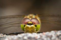 Dragonfly okładzinowa kamera Obrazy Royalty Free