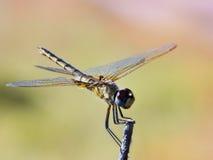 Dragonfly - Okavango Delta - Botswana Stock Image