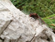 Dragonfly. On the old tree Royalty Free Stock Photos