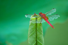 Dragonfly On Lotus Bud Stock Images