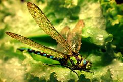 Dragonfly On The Green Stock Image