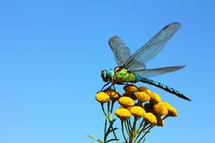 Dragonfly On Yellow Flower Royalty Free Stock Photography