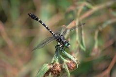 Dragonfly Onychogomphus forcipatus profil Zdjęcia Stock