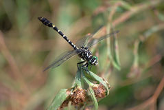 Dragonfly Onychogomphus forcipatus profile Stock Photography