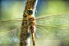 Dragonfly Opaque Wings. Dragonfly wings are opaque and like stained glass windows. They are such beautiful insects and fly around the garden stopping on plants royalty free stock photos