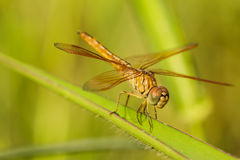 Dragonfly orange background, Silhouette. Dragonfly with blur beautiful nature background, outdoor royalty free stock photo