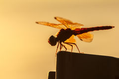 Dragonfly orange background, Silhouette. Dragonfly with blur beautiful nature background, outdoor royalty free stock image