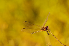 Dragonfly orange background, Silhouette. Dragonfly with blur beautiful nature background, outdoor royalty free stock photography