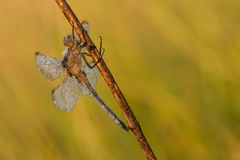 Dragonfly on an orange background Stock Images