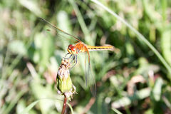 Dragonfly orange in the dandelion. Closed bud. breakfast. Close shooting with transparent wiry wings. On a blurred natural background. grass. Photo for your stock photos