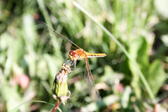 Dragonfly orange in the dandelion. Closed bud. breakfast. Close shooting with transparent wiry wings. Photo for your design stock images