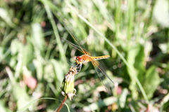 Dragonfly orange in the dandelion. Closed bud. breakfast. Close-up shooting. Photo for your design royalty free stock photo