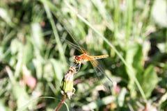 Dragonfly orange in the dandelion Royalty Free Stock Photo