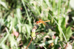 Dragonfly orange in the dandelion. Closed bud. breakfast. Photo for your design stock photo