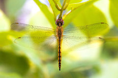 Dragonfly. Orange dragonflies live on branches in a garden royalty free stock photos