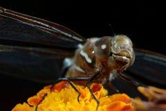 DragonFly Orange Flower open wings. Is an open wings DragonFly on top of an Orange damasquina Flower Macro royalty free stock photo
