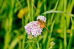 Dragonfly orange on a flower. Orange dragonfly on pink flower on a background of green grass royalty free stock photography