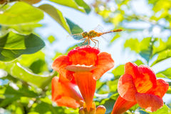 Dragonfly on orange flower trumpet creeper backlit, macro. Dragonfly with transparent wings on the orange flower trumpet creeper (Campsis) in the sunny summer stock photo