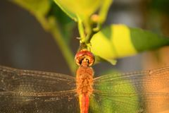 Dragonfly on orange fruits with front view. It is simple shoot but have interesting in details view. Simple dragonfly hang on branch of orange fruits this royalty free stock photos
