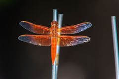 Dragonfly orange Stock Photography
