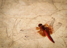 Dragonfly (Orange winged Dropwing) on grungy floor. Dragonfly (Orange winged Dropwing, Trithemis kirbyi) on grungy floor stock image