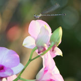 Dragonfly and orchid flower Stock Images