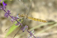 Dragonfly / Orthetrum cancellatum Royalty Free Stock Images