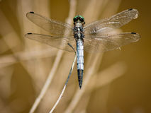 Dragonfly Orthetrum Cancellatum Royalty Free Stock Image