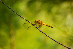 Dragonfly,Orthetrum cancellatum. Royalty Free Stock Image