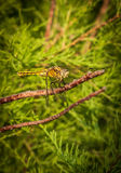 Dragonfly,Orthetrum cancellatum. Royalty Free Stock Photo