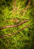 Dragonfly,Orthetrum cancellatum. Royalty Free Stock Photo