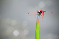 Dragonfly outdoor Royalty Free Stock Images