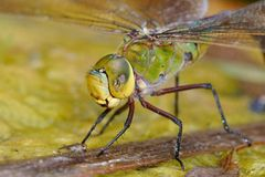 Dragonfly outdoor Royalty Free Stock Photography
