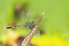 Dragonfly. Outdoor and green in the garden Royalty Free Stock Photo