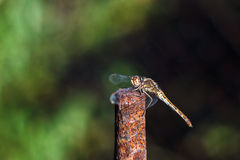 Dragonfly outdoor - selective focus. Closeup Stock Images