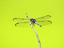 Dragonfly outdoor on a stick with green background Royalty Free Stock Photos