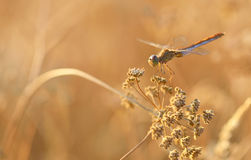 Dragonfly outdoor in summer time Stock Image