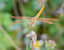 Dragonfly. Outdoor on wet morning Stock Image