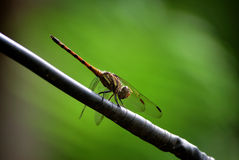 Dragonfly over green background Royalty Free Stock Image