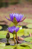 Dragonfly over water lillies Royalty Free Stock Images